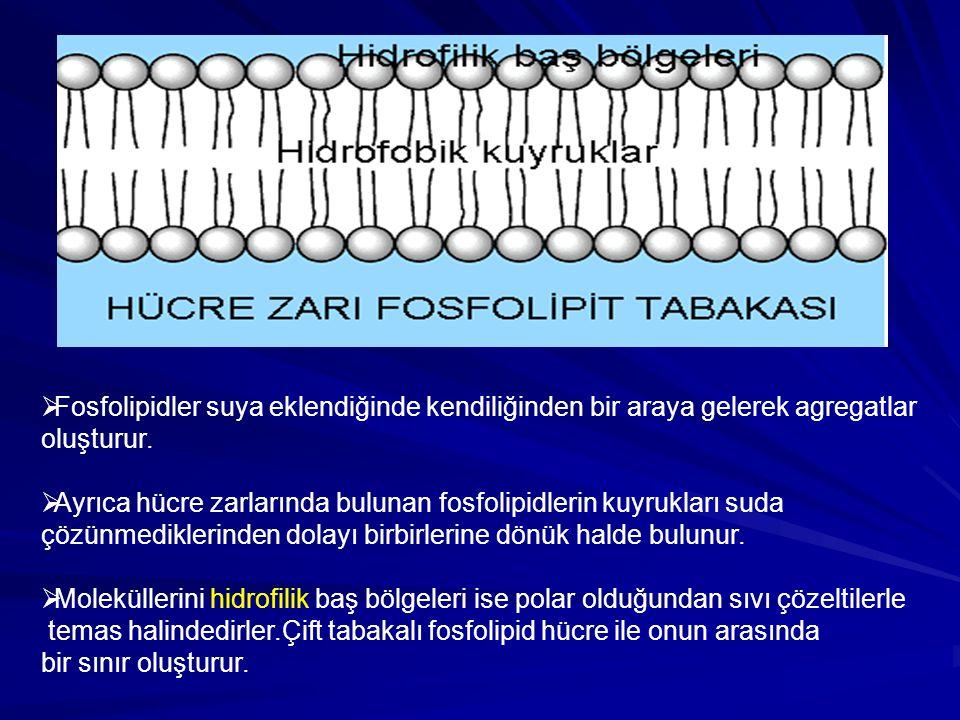  Fosfolipidler suya eklendiğinde kendiliğinden bir araya gelerek agregatlar oluşturur.  Ayrıca hücre zarlarında bulunan fosfolipidlerin kuyrukları s
