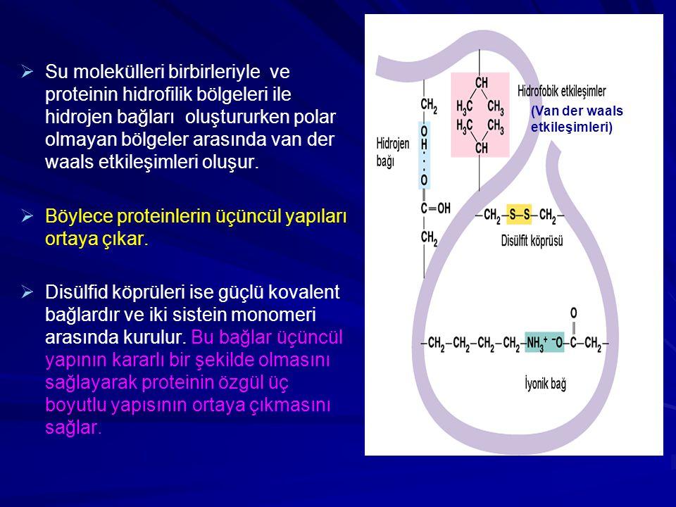   Su molekülleri birbirleriyle ve proteinin hidrofilik bölgeleri ile hidrojen bağları oluştururken polar olmayan bölgeler arasında van der waals etk