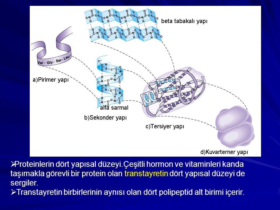  Proteinlerin dört yapısal düzeyi.Çeşitli hormon ve vitaminleri kanda taşımakla görevli bir protein olan transtayretin dört yapısal düzeyi de sergile