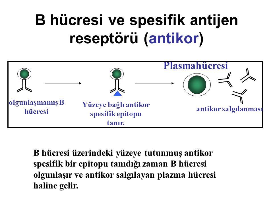B hücresi ve spesifik antijen reseptörü (antikor) Plasmahücresi B hücresi üzerindeki yüzeye tutunmuş antikor spesifik bir epitopu tanıdığı zaman B hüc