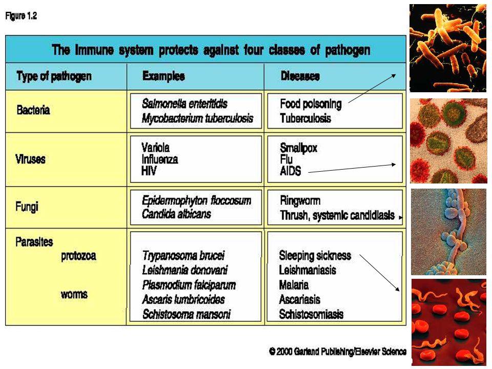 Eozinofiller: fagositer hücreler tarafından fagosite edilemeyecek derecede büyük parazitlerin parçalanması aktif eozinofiller tarafından salgılanan toksik proteinler aracılığıyla gerçekleştirilir.