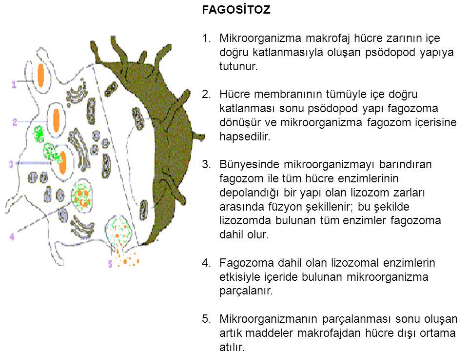 FAGOSİTOZ 1.Mikroorganizma makrofaj hücre zarının içe doğru katlanmasıyla oluşan psödopod yapıya tutunur. 2.Hücre membranının tümüyle içe doğru katlan