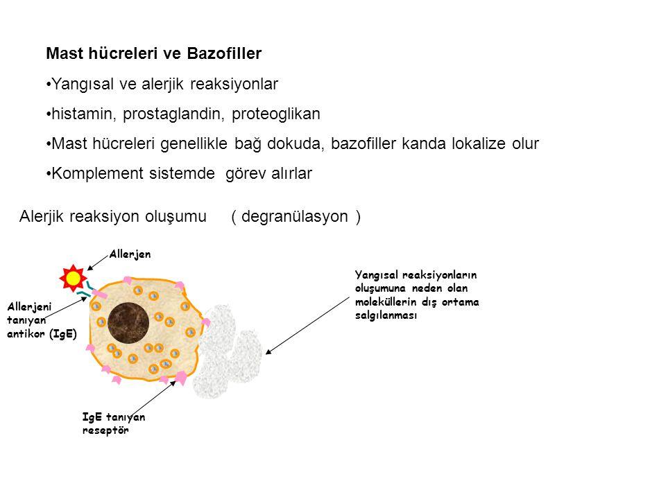 Mast hücreleri ve Bazofiller Yangısal ve alerjik reaksiyonlar histamin, prostaglandin, proteoglikan Mast hücreleri genellikle bağ dokuda, bazofiller k