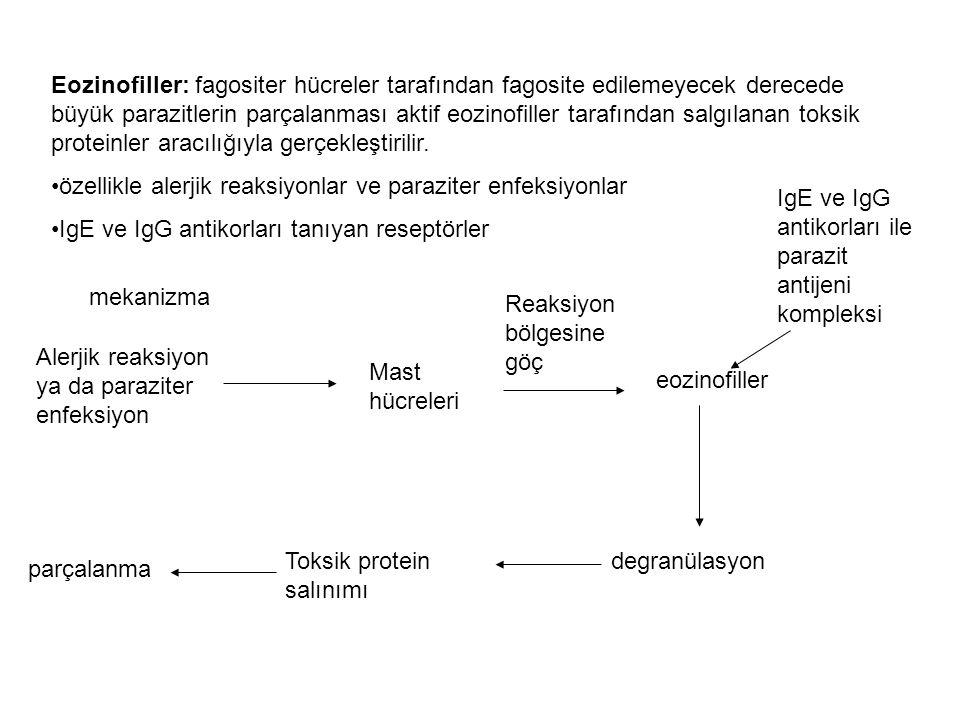 Eozinofiller: fagositer hücreler tarafından fagosite edilemeyecek derecede büyük parazitlerin parçalanması aktif eozinofiller tarafından salgılanan to