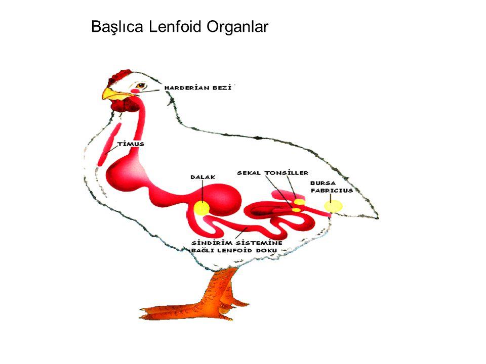 Başlıca Lenfoid Organlar