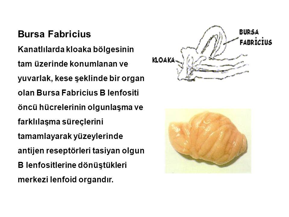 Bursa Fabricius Kanatlılarda kloaka bölgesinin tam üzerinde konumlanan ve yuvarlak, kese şeklinde bir organ olan Bursa Fabricius B lenfositi öncü hücr