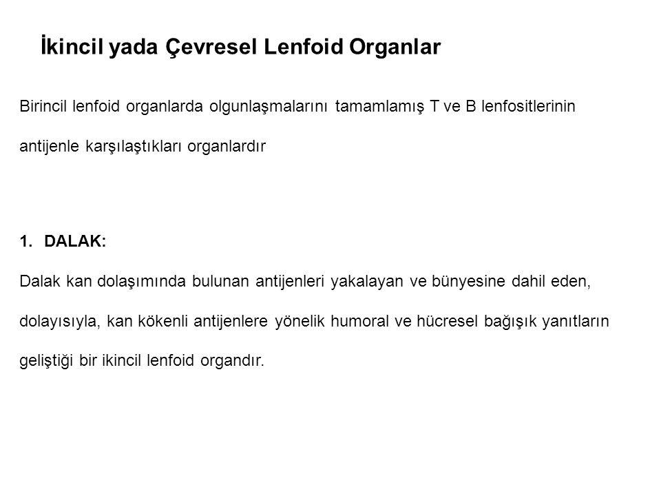 İkincil yada Çevresel Lenfoid Organlar Birincil lenfoid organlarda olgunlaşmalarını tamamlamış T ve B lenfositlerinin antijenle karşılaştıkları organl