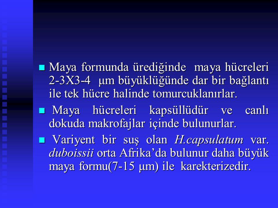 Maya formunda ürediğinde maya hücreleri 2-3X3-4 μm büyüklüğünde dar bir bağlantı ile tek hücre halinde tomurcuklanırlar. Maya formunda ürediğinde maya