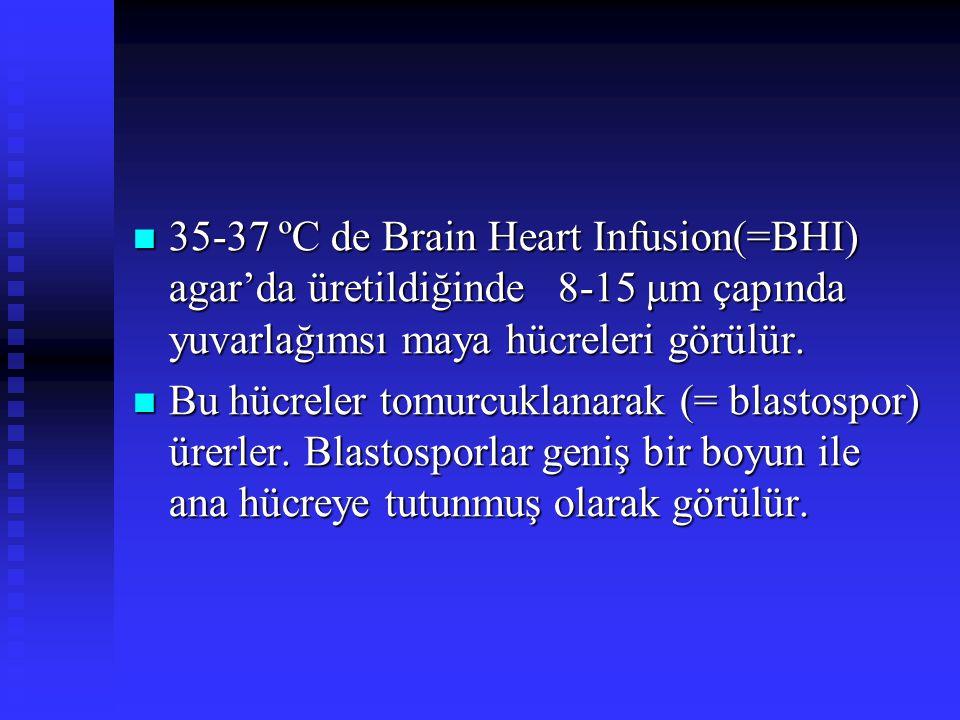 35-37 ºC de Brain Heart Infusion(=BHI) agar'da üretildiğinde 8-15 μm çapında yuvarlağımsı maya hücreleri görülür. 35-37 ºC de Brain Heart Infusion(=BH