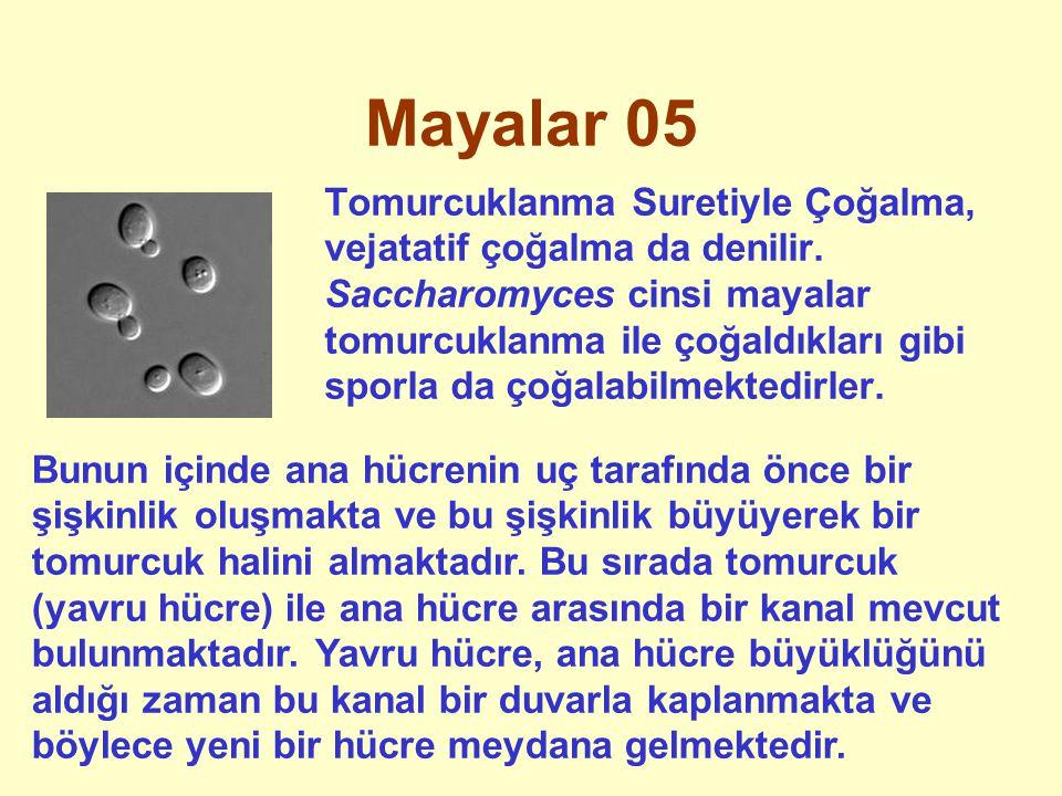 Mayalar 05 Tomurcuklanma Suretiyle Çoğalma, vejatatif çoğalma da denilir. Saccharomyces cinsi mayalar tomurcuklanma ile çoğaldıkları gibi sporla da ço