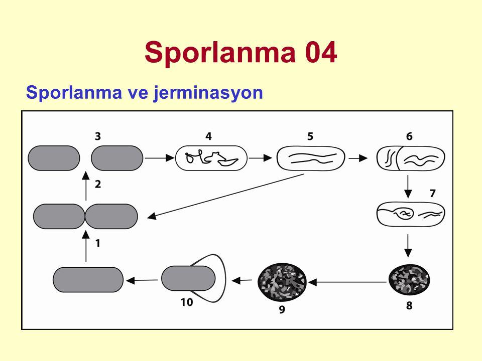 Sporlanma 05 Vejetatif hücre standart şekilde bölünür (1-3) Sporlanma başlamadan önce vejetatif hücredeki genetik materyal, bir eksen üzerinde filament formunu alır ve hücre bölünmesinde olduğu gibi protoplazma membranı içeriye doğru karşılıklı girinti yapar ve septum oluşur (4-5).