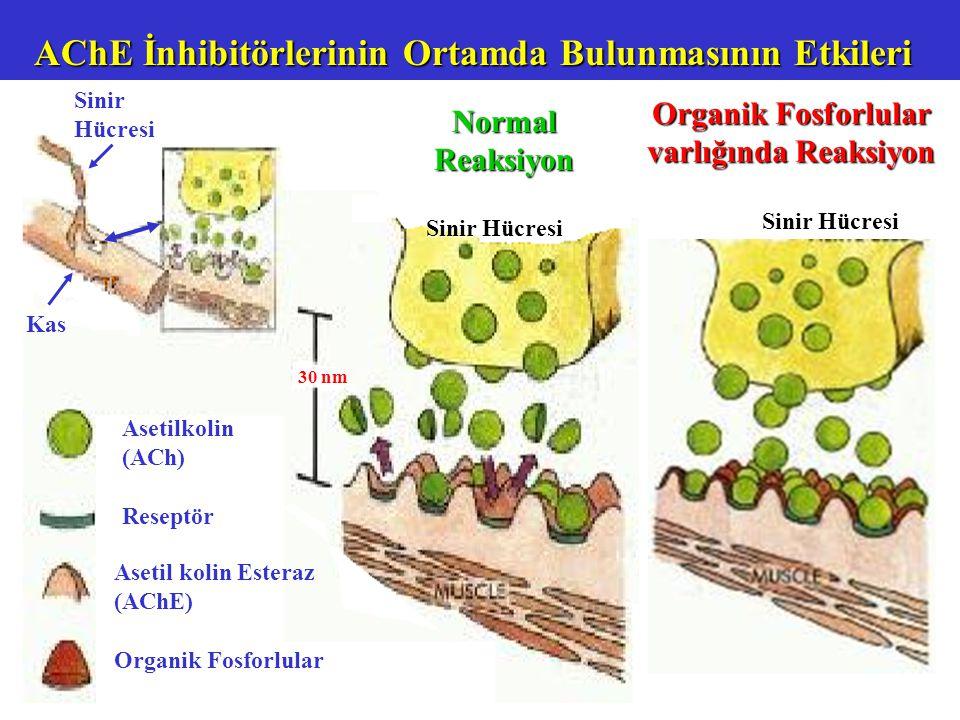 Asetilkolin (ACh) Reseptör Asetil kolin Esteraz (AChE) Organik Fosforlular Sinir Hücresi Normal Reaksiyon Sinir Hücresi 30 nm Kas AChE İnhibitörlerinin Ortamda Bulunmasının Etkileri.