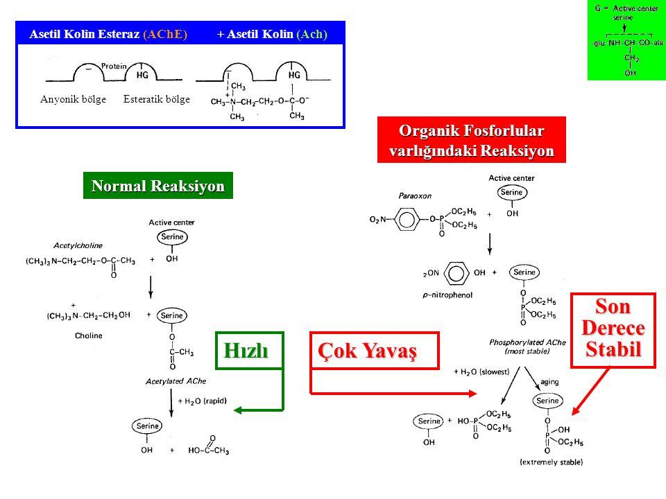 Anyonik bölgeEsteratik bölge Asetil Kolin Esteraz (AChE)+ Asetil Kolin (Ach) Normal Reaksiyon Organik Fosforlular varlığındaki Reaksiyon Hızlı Çok Yavaş Son Derece Stabil