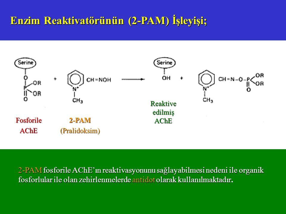 Enzim Reaktivatörünün (2-PAM) İşleyişi; FosforileAChE Reaktive edilmiş AChE 2-PAM(Pralidoksim) 2-PAM fosforile AChE'ın reaktivasyonunu sağlayabilmesi nedeni ile organik fosforlular ile olan zehirlenmelerde antidot olarak kullanılmaktadır 2-PAM fosforile AChE'ın reaktivasyonunu sağlayabilmesi nedeni ile organik fosforlular ile olan zehirlenmelerde antidot olarak kullanılmaktadır.