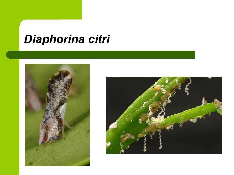 Diaphorina citri'nin ağaçdaki salgıları