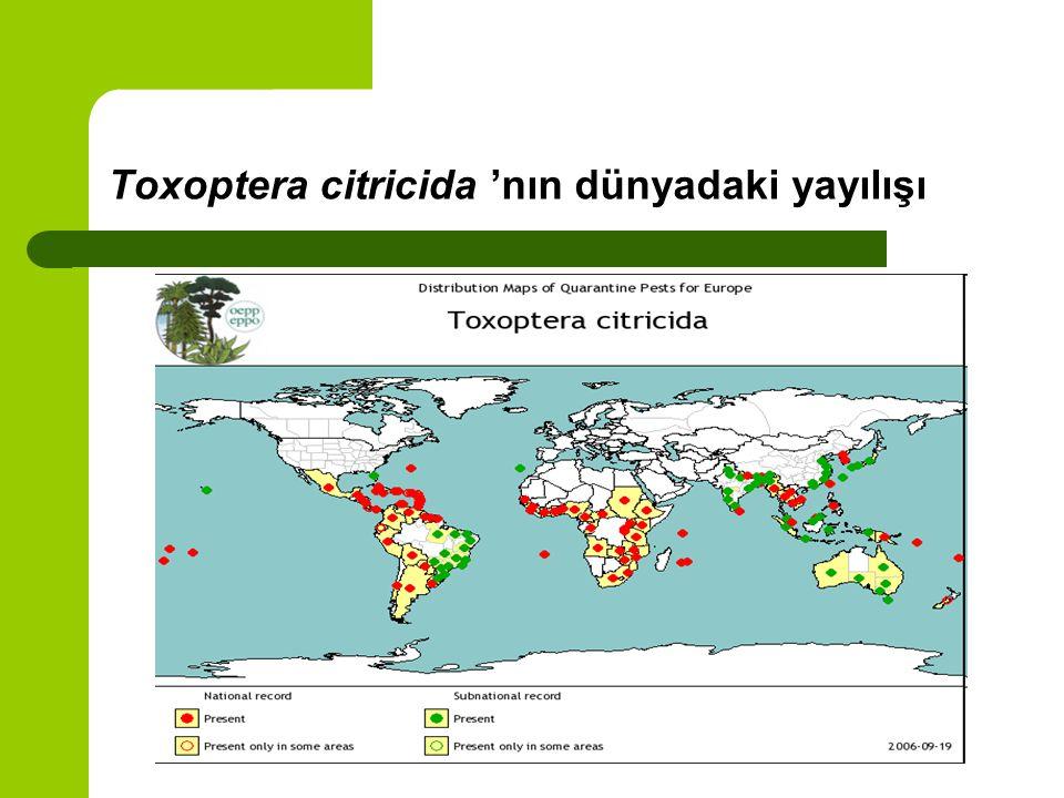 Toxoptera citricida