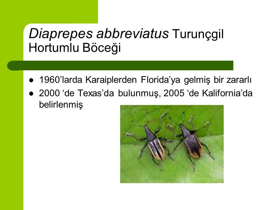 Diaprepes abbreviatus zarar şekli Larvaları köklerinde besleniyor.