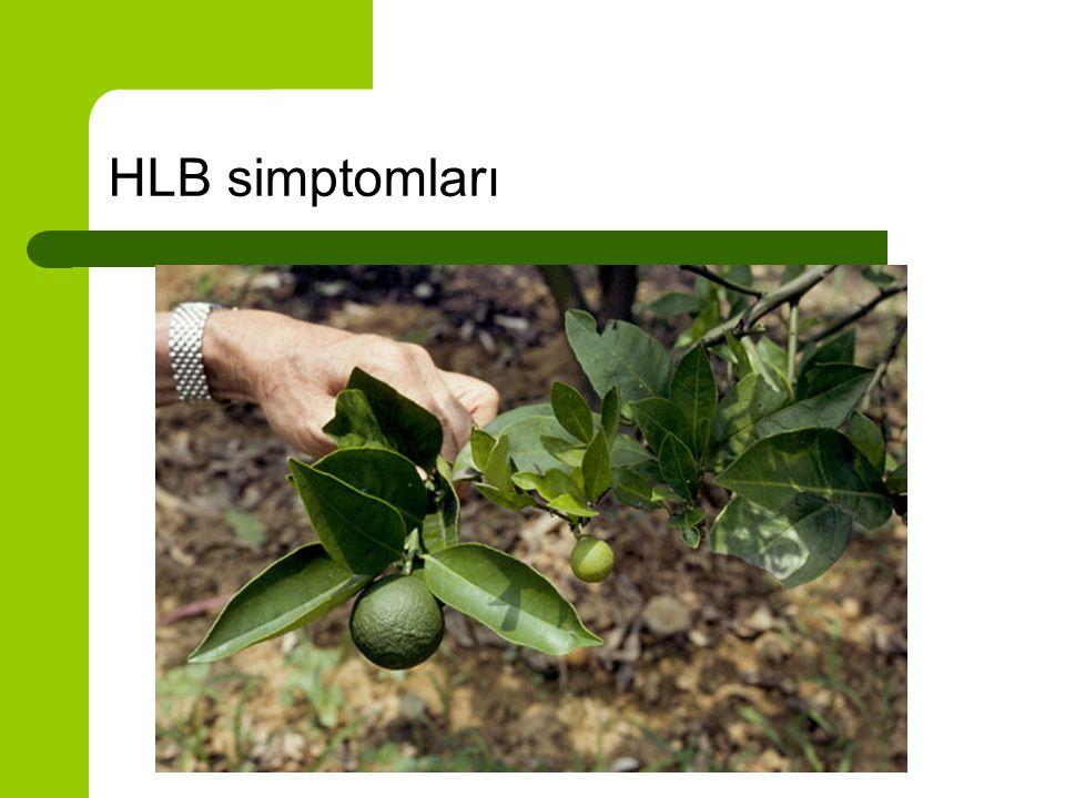 Meyve simptomları Küçük meyve Bozuk çekirdek yapısı Kötü renklenme Kötü tat