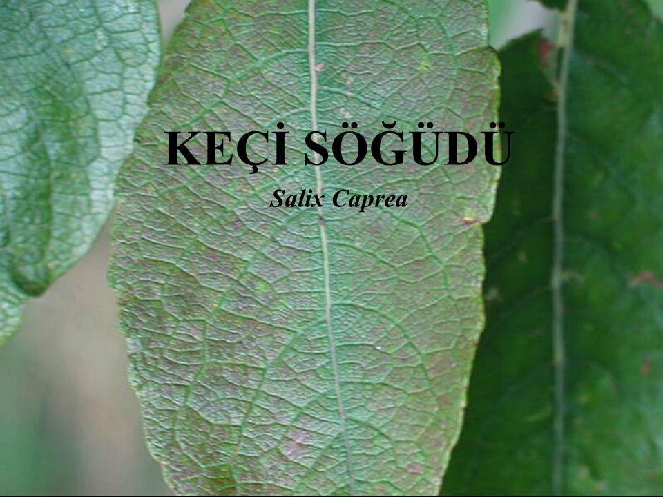 Alem:Plantae (Bitkiler) Bölüm:Magnoliophyta(Kapalı tohumlular) Sınıf:Magnoliopsida (İki çenekliler) Takım:Malpighiales Familya:Salicaceae(Söğütgiller) Cins:Salix(Söğüt) Tür:S.