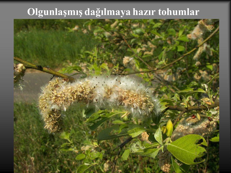 Olgunlaşmış dağılmaya hazır tohumlar