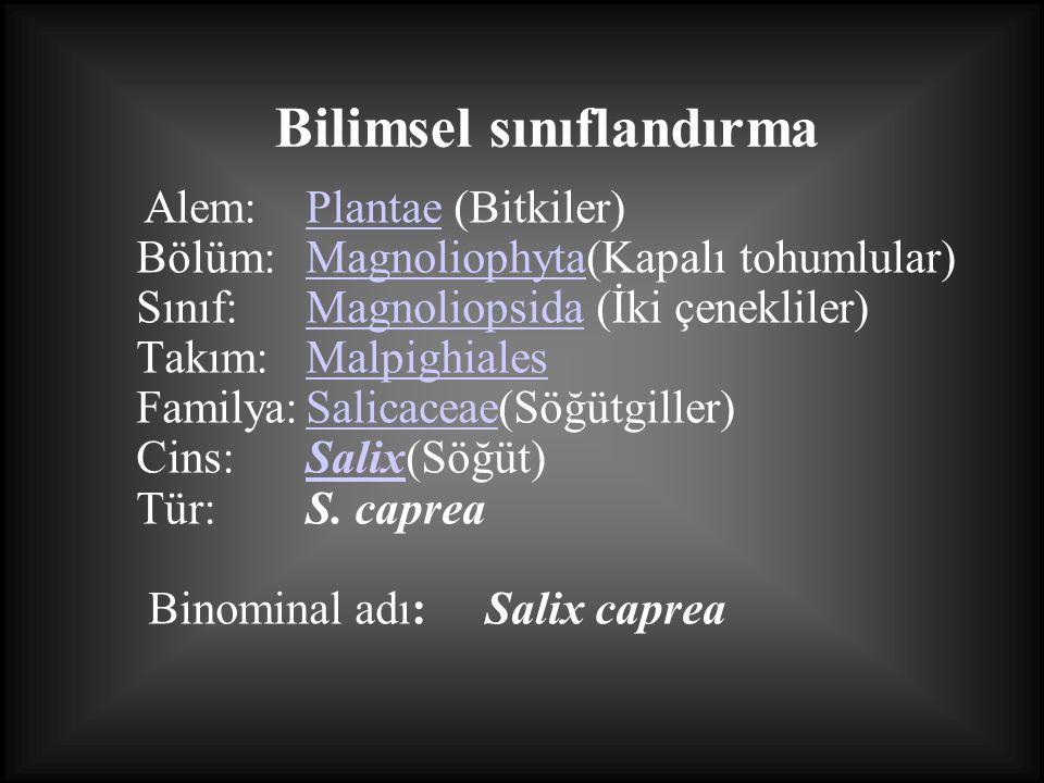 Alem:Plantae (Bitkiler) Bölüm:Magnoliophyta(Kapalı tohumlular) Sınıf:Magnoliopsida (İki çenekliler) Takım:Malpighiales Familya:Salicaceae(Söğütgiller)