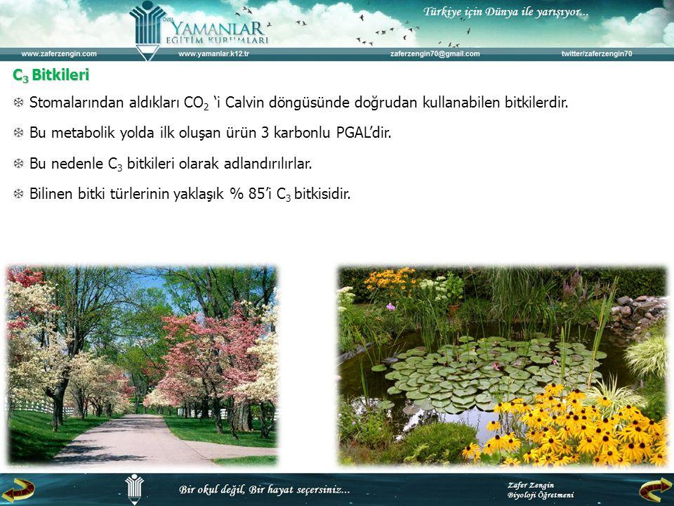 C 3 Bitkileri  Stomalarından aldıkları CO 2 'i Calvin döngüsünde doğrudan kullanabilen bitkilerdir.