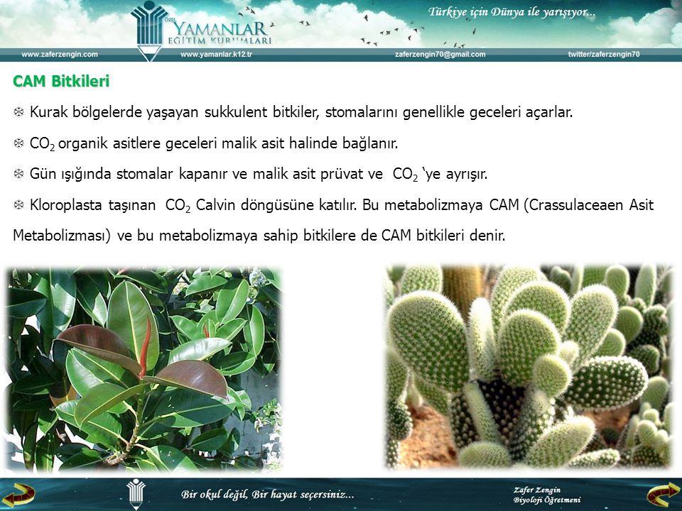 CAM Bitkileri  Kurak bölgelerde yaşayan sukkulent bitkiler, stomalarını genellikle geceleri açarlar.