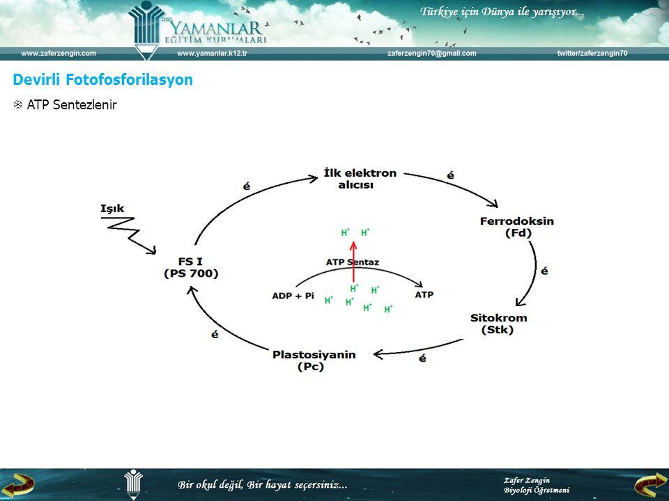 Devirli Fotofosforilasyon  ATP Sentezlenir