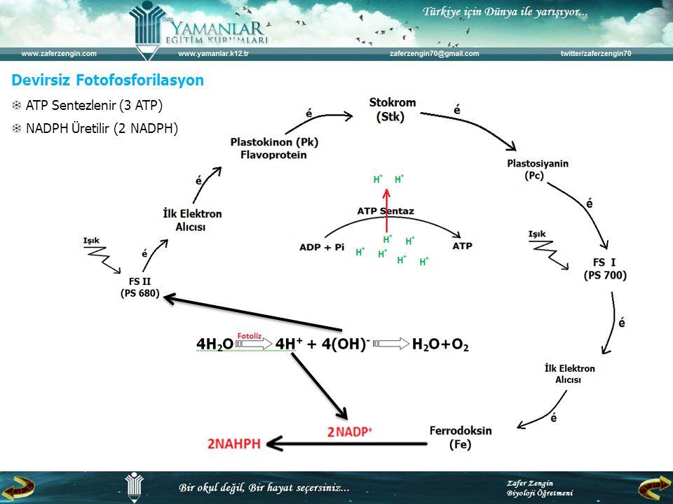 Devirsiz Fotofosforilasyon  ATP Sentezlenir (3 ATP)  NADPH Üretilir (2 NADPH)