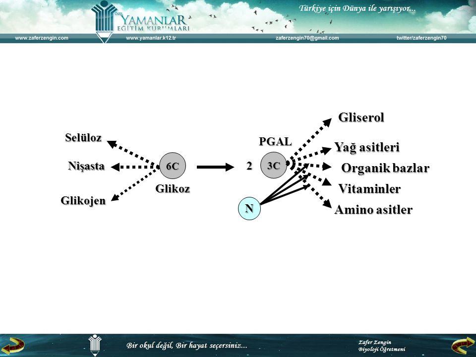 Selüloz Nişasta Glikojen Glikojen 6C 3C 2 N Gliserol Yağ asitleri Organik bazlar Vitaminler Amino asitler Glikoz PGAL