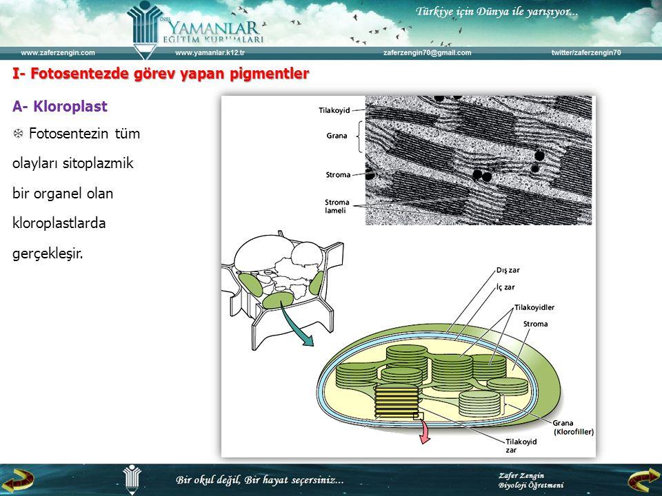 I- Fotosentezde görev yapan pigmentler A- Kloroplast  Fotosentezin tüm olayları sitoplazmik bir organel olan kloroplastlarda gerçekleşir.