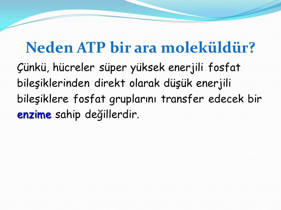 Neden ATP bir ara moleküldür? Çünkü, hücreler süper yüksek enerjili fosfat bileşiklerinden direkt olarak düşük enerjili bileşiklere fosfat gruplarını