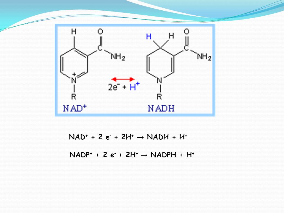 NAD + + 2 e - + 2H + → NADH + H + NADP + + 2 e - + 2H + → NADPH + H +