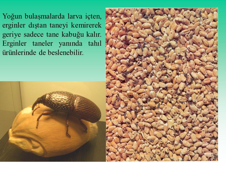 Yoğun bulaşmalarda larva içten, erginler dıştan taneyi kemirerek geriye sadece tane kabuğu kalır. Erginler taneler yanında tahıl ürünlerinde de beslen