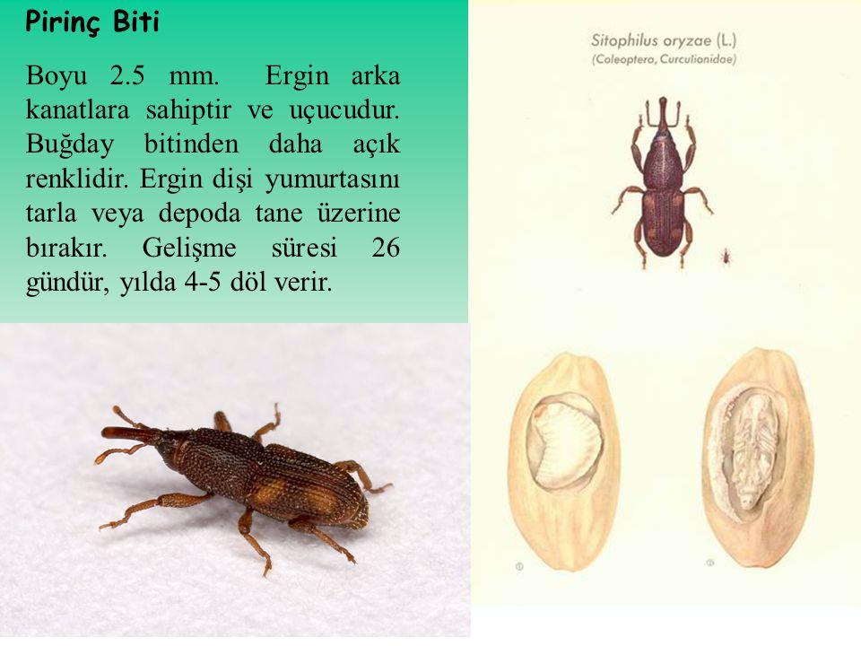 Pirinç Biti Boyu 2.5 mm. Ergin arka kanatlara sahiptir ve uçucudur. Buğday bitinden daha açık renklidir. Ergin dişi yumurtasını tarla veya depoda tane