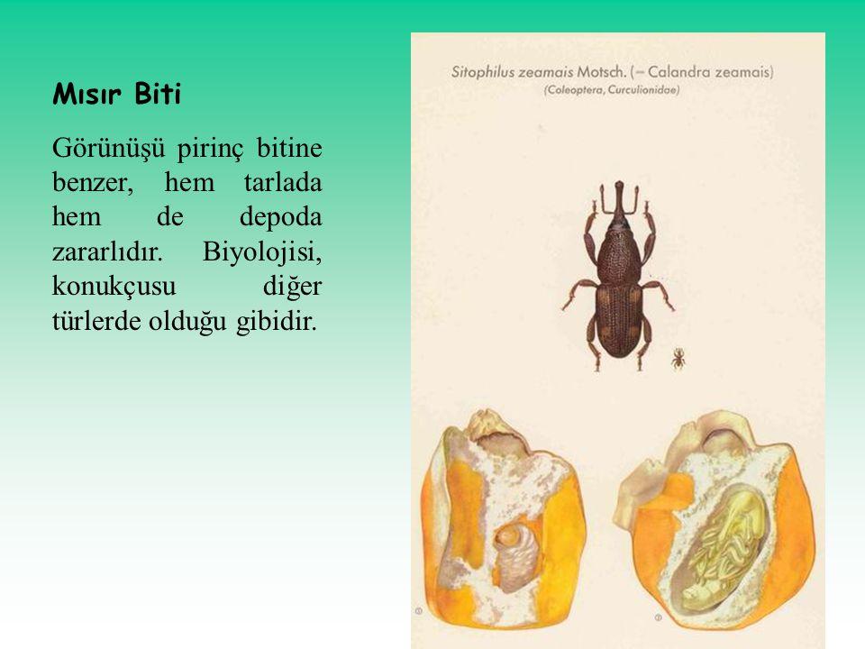 Mısır Biti Görünüşü pirinç bitine benzer, hem tarlada hem de depoda zararlıdır. Biyolojisi, konukçusu diğer türlerde olduğu gibidir.
