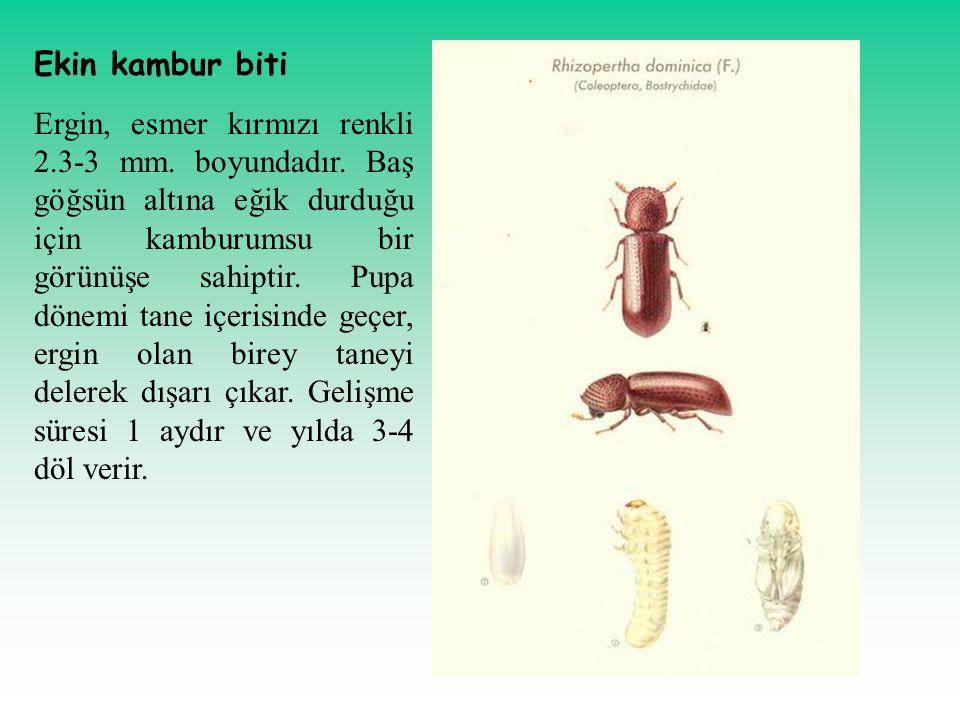 Ekin kambur biti Ergin, esmer kırmızı renkli 2.3-3 mm. boyundadır. Baş göğsün altına eğik durduğu için kamburumsu bir görünüşe sahiptir. Pupa dönemi t