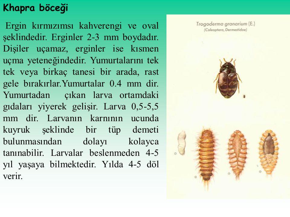 Khapra böceği Ergin kırmızımsı kahverengi ve oval şeklindedir. Erginler 2-3 mm boydadır. Dişiler uçamaz, erginler ise kısmen uçma yeteneğindedir. Yumu