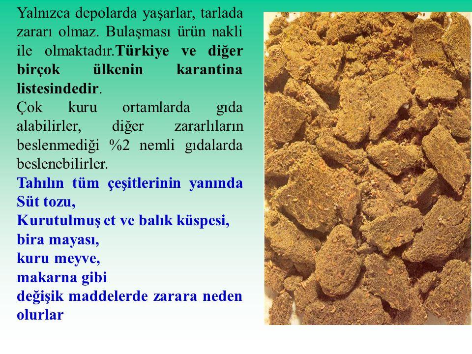 Yalnızca depolarda yaşarlar, tarlada zararı olmaz. Bulaşması ürün nakli ile olmaktadır.Türkiye ve diğer birçok ülkenin karantina listesindedir. Çok ku