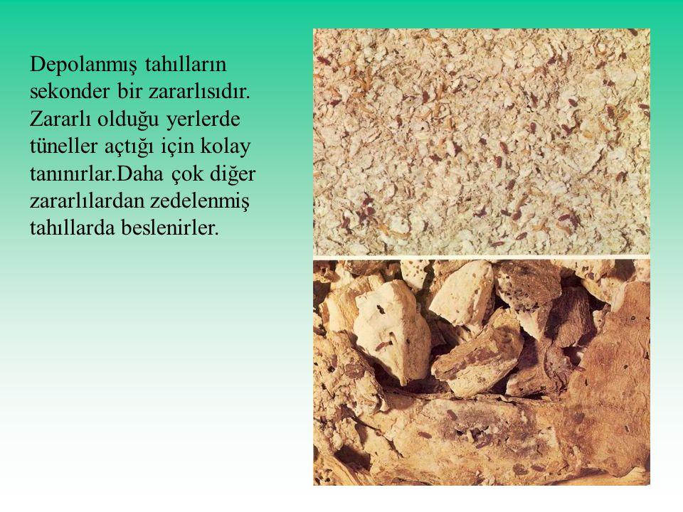 Depolanmış tahılların sekonder bir zararlısıdır. Zararlı olduğu yerlerde tüneller açtığı için kolay tanınırlar.Daha çok diğer zararlılardan zedelenmiş