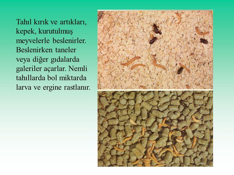 Tahıl kırık ve artıkları, kepek, kurutulmuş meyvelerle beslenirler. Beslenirken taneler veya diğer gıdalarda galeriler açarlar. Nemli tahıllarda bol m