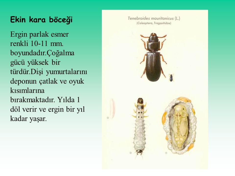 Ekin kara böceği Ergin parlak esmer renkli 10-11 mm. boyundadır.Çoğalma gücü yüksek bir türdür.Dişi yumurtalarını deponun çatlak ve oyuk kısımlarına b