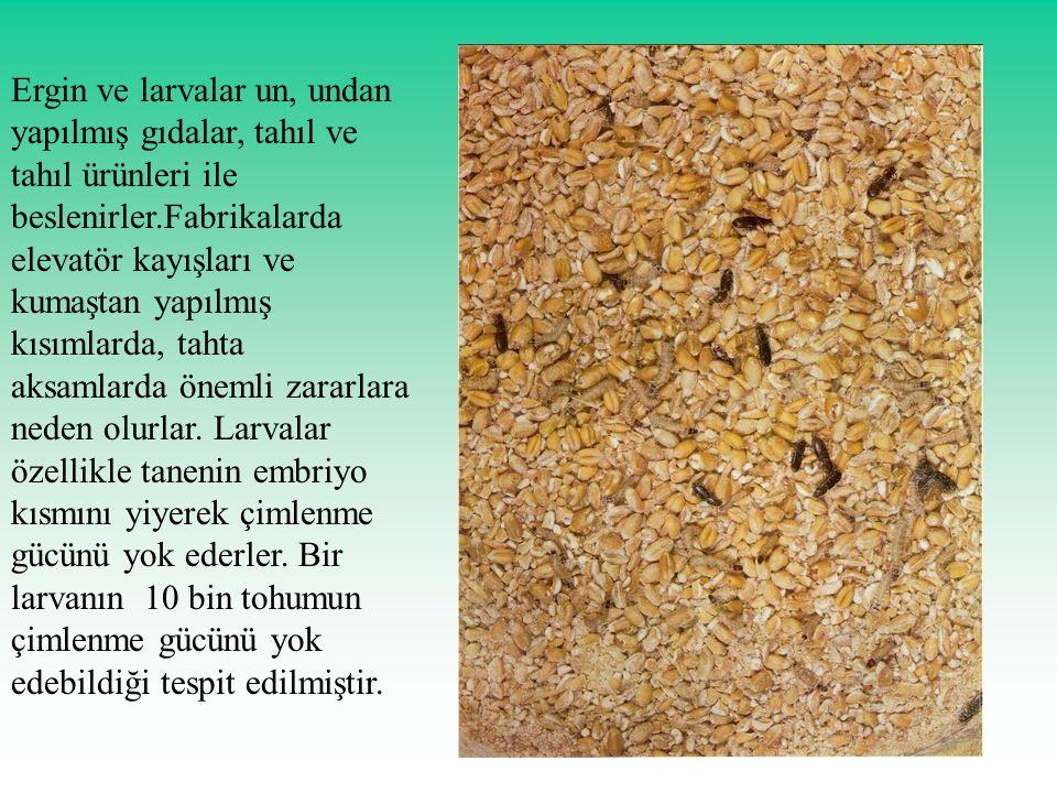 Ergin ve larvalar un, undan yapılmış gıdalar, tahıl ve tahıl ürünleri ile beslenirler.Fabrikalarda elevatör kayışları ve kumaştan yapılmış kısımlarda,