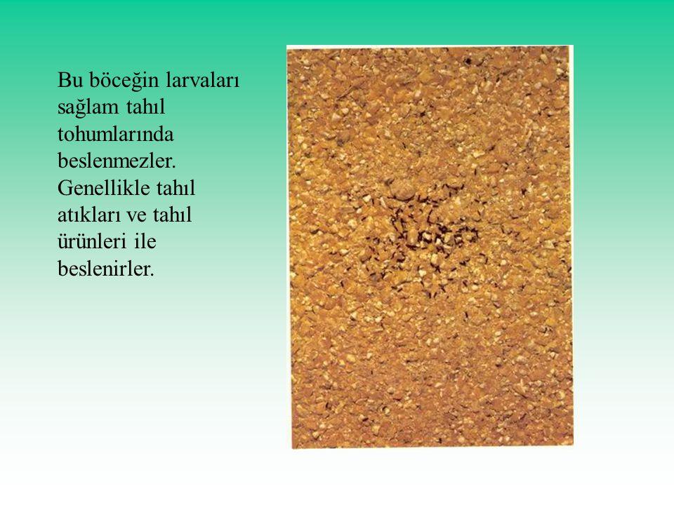 Bu böceğin larvaları sağlam tahıl tohumlarında beslenmezler. Genellikle tahıl atıkları ve tahıl ürünleri ile beslenirler.