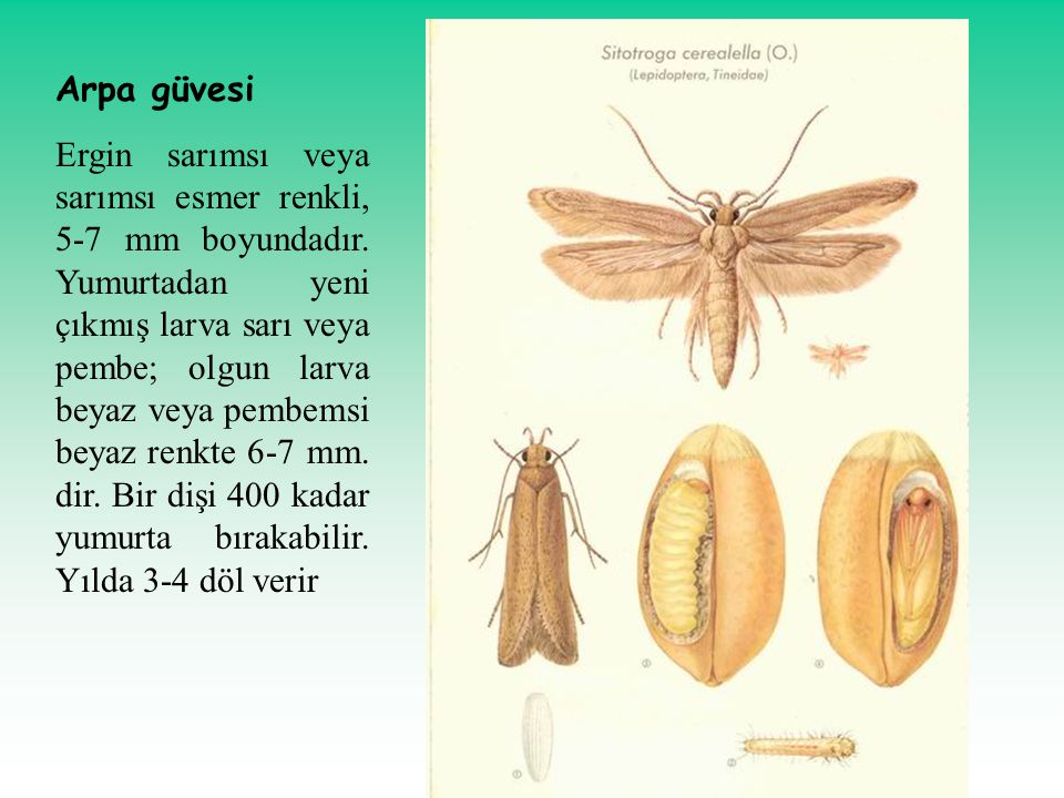 Arpa güvesi Ergin sarımsı veya sarımsı esmer renkli, 5-7 mm boyundadır. Yumurtadan yeni çıkmış larva sarı veya pembe; olgun larva beyaz veya pembemsi