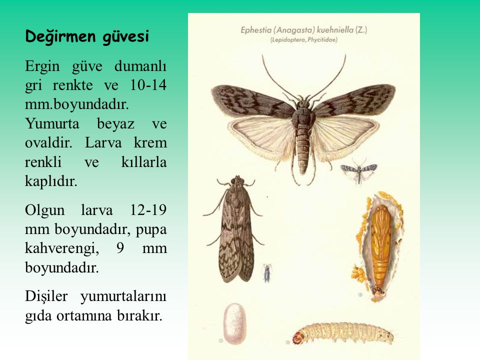 Değirmen güvesi Ergin güve dumanlı gri renkte ve 10-14 mm.boyundadır. Yumurta beyaz ve ovaldir. Larva krem renkli ve kıllarla kaplıdır. Olgun larva 12