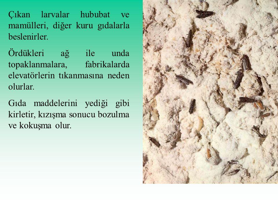 Çıkan larvalar hububat ve mamülleri, diğer kuru gıdalarla beslenirler. Ördükleri ağ ile unda topaklanmalara, fabrikalarda elevatörlerin tıkanmasına ne
