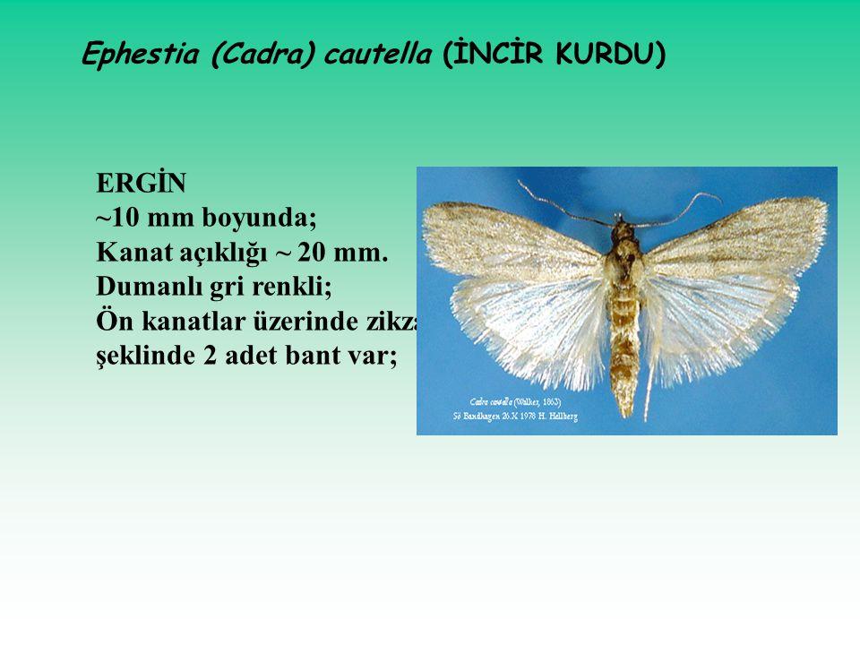 ERGİN ~10 mm boyunda; Kanat açıklığı ~ 20 mm. Dumanlı gri renkli; Ön kanatlar üzerinde zikzak şeklinde 2 adet bant var; Ephestia (Cadra) cautella (İNC