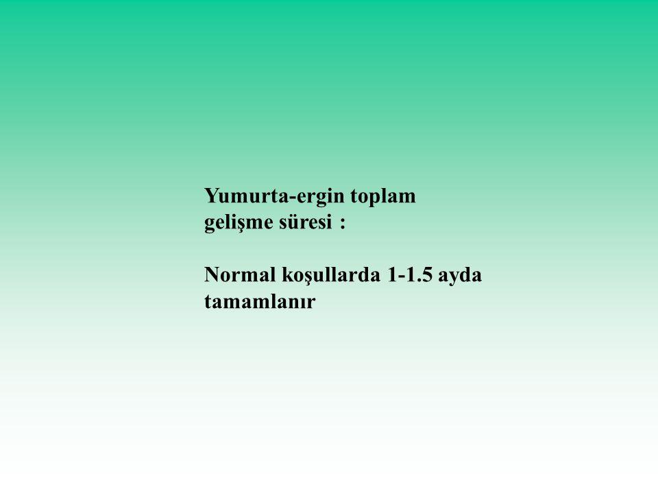 Yumurta-ergin toplam gelişme süresi : Normal koşullarda 1-1.5 ayda tamamlanır