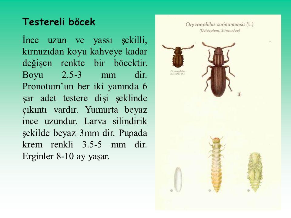 Testereli böcek İnce uzun ve yassı şekilli, kırmızıdan koyu kahveye kadar değişen renkte bir böcektir. Boyu 2.5-3 mm dir. Pronotum'un her iki yanında